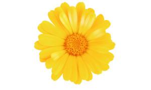 Chrysantellum