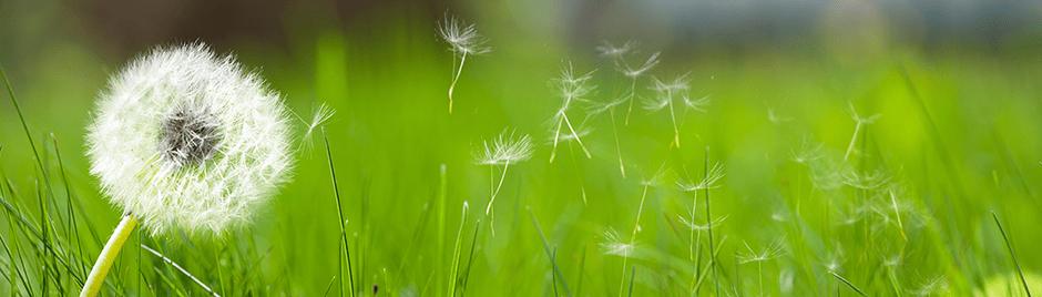 pissenlit herbe